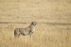 Cheetah. In the savanna, Maasai Mara National Reserve, Kenya, East Africa Stock Photo