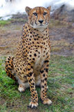 Cheetah. Leopard is sitting quietly and looking with wondering eyes Stock Photos