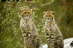 Cheetah. Two Cheetah cubs looking at viewer (Acinonyx jubatus) - landscape orientation Stock Photography