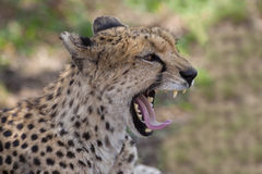 Cheetah Royalty Free Stock Photo