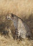 Cheetah. Sitting on yellow grass, Maasai Mara National Reserve, Kenya, East Africa Stock Photography