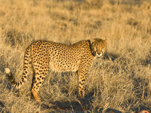 Cheetah. Fastest land animal. Slender body, long legs, distinctly rounded head with small rounded ears. Strongly black-spotted coat on a buffy-white background Royalty Free Stock Photos