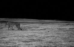 Cheetah. Black and white image of cheetah walking across grassy fields Stock Image