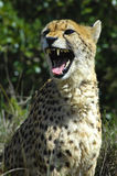 Cheetah. Snarling because you are inside it's comfort zone Royalty Free Stock Images