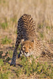 Cheetah Royalty Free Stock Image