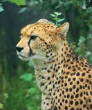 Cheetah. Head and shoulders of a Cheetah royalty free stock images