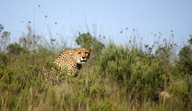 Cheetah. Focusses on his prey in South Africa Royalty Free Stock Image
