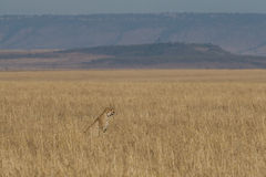 Cheetah. Landscape view of cheetah on wide open grassland of Masai Mara plains, Kenya Royalty Free Stock Images