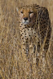 Cheetah. Portrait of Cheetah stalking Prey Stock Photos