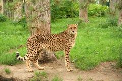 Cheetah. At the zoo royalty free stock photo