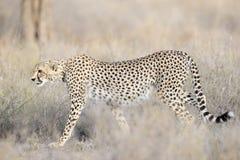 Cheetah. Walking in grass Stock Photography