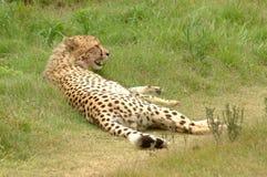 Free Cheetah Stock Photo - 2513110