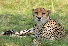 Cheetah. (Acinonyx Jubatus) Lying in the Grass, Maasai Mara, Kenya Stock Photography