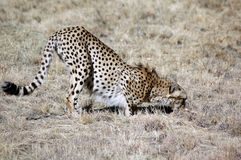 Cheetah. Royalty Free Stock Image
