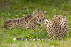 Cheetah Royalty Free Stock Photography