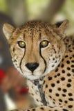 Cheetah Royalty Free Stock Photo