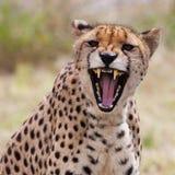 Cheetah 3 Fotografering för Bildbyråer
