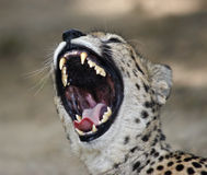 Cheetah. Open mouth of the cheetah royalty free stock image