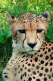 Cheetah arkivbild