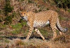 Cheetah. National zoo. Washington, DC royalty free stock images