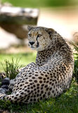 Cheetah. A beautiful cheetah relaxes in the late afternoon sun. Selective focus on eyes.See more of cheetah images at my portfolio royalty free stock photography