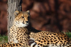 Cheetah. The cheetah seating beside the tree and looking around royalty free stock images