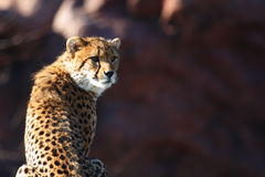 Cheetah. The cheetah seat there, staring at something which it is interesting royalty free stock photo