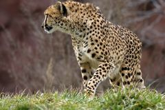 Cheetah. I took this shot in zoo stock photo