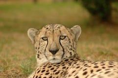 cheetah Στοκ Φωτογραφία