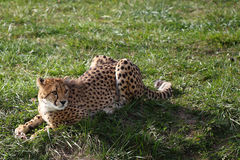 Cheetah. The cheetah is hunting something royalty free stock images