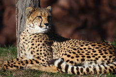 Cheetah. This beautiful cheetah is staring at beyond stock photos