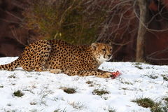 Cheetah. This cheetah is eating meat stock image