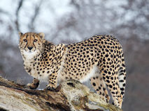 Cheetah. The cheetah is hunting something stock images