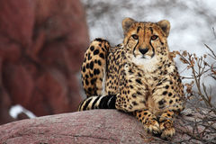 Cheetah. The cheetah is seating there and looking at something royalty free stock photo
