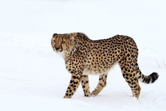 Cheetah. This cheetah is walking on the snow royalty free stock image
