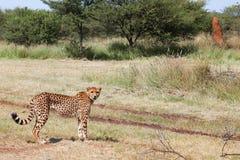 Cheetah 4 Royalty Free Stock Images