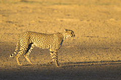 cheetah Photos stock