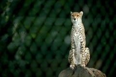 cheetah Photographie stock libre de droits