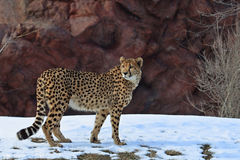 Cheetah. The cheetah find something it is interested in stock photo