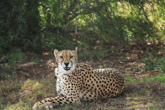cheetah Stock Afbeeldingen