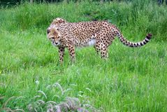 Cheetah. Whole of Cheetah in under growth Stock Images