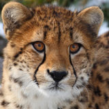 Cheetah. This cheetch is staring at something stock image