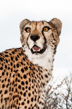 cheetah Fotos de Stock Royalty Free