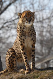Cheetah. This cheetah is sitting on hay royalty free stock photos