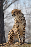 Cheetah. This cheetah is sitting on hay royalty free stock photography
