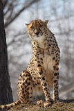 Cheetah. This cheetah is sitting on hay stock photo