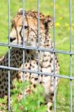 cheetah images libres de droits