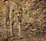 Free Cheetah Stock Images - 48665344