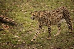 Free Cheetah Stock Images - 48705224