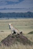 Cheetah with 5 cubs Stock Image